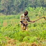 Agricultural Development for Economic Recovery in the DRC